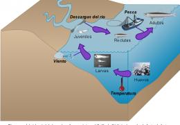 Diagrama del ciclo vital de la anchoa (boquerón) en el Golfo de Cádiz incluyendo el efecto de factores medioambientales en las diferentes etapas vitales. Tomado de Rincón et al. 2016
