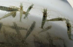 Camarón de agua dulce, (Atyaephyra desmarestii)