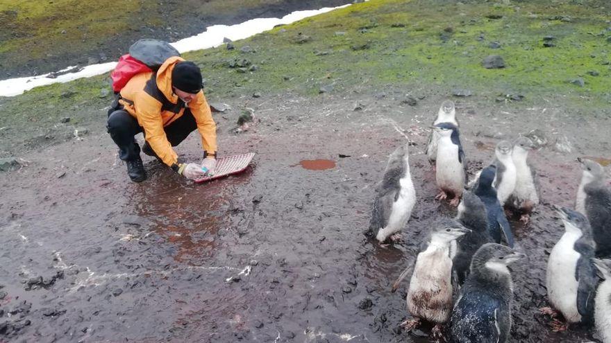 El investigador, muestreando guano, plumas, etc en la pinguinera