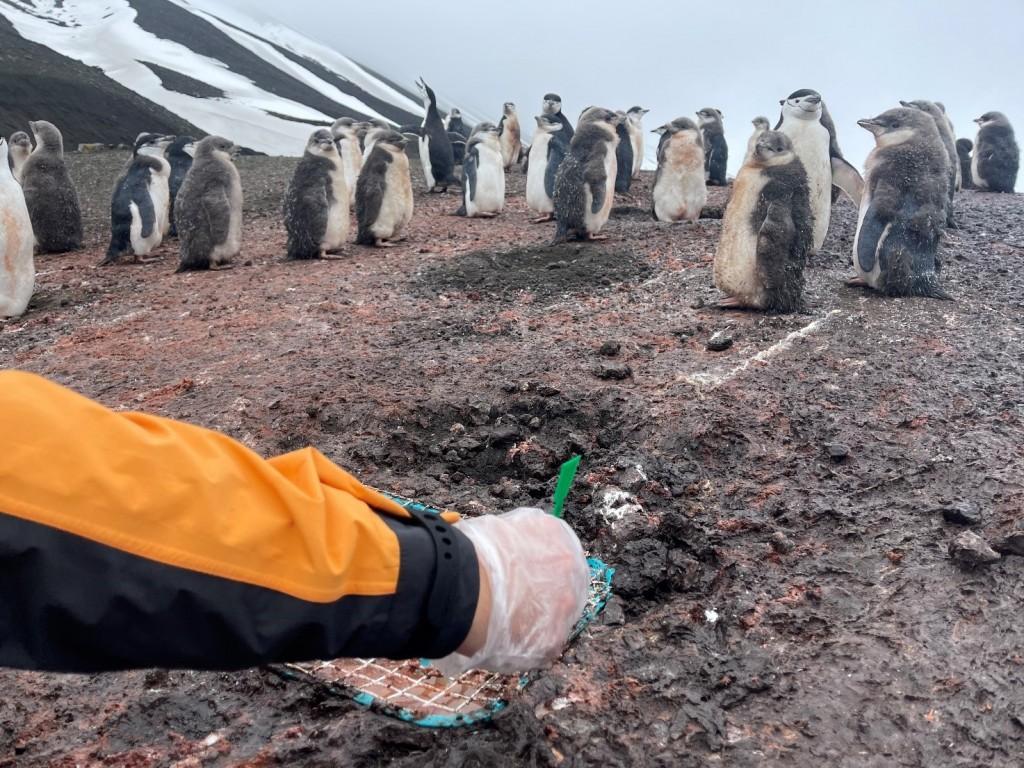 Investigadores tomando muestras del guano de los pingüinos / Foto: A. Tovar